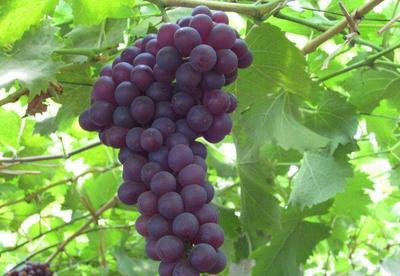 安徽省淮南市潘集区玫瑰香葡萄 5%以下 1次果 0.4-0.6斤
