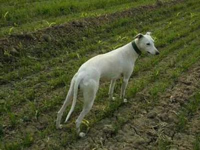 这是一张关于格力犬的产品图片
