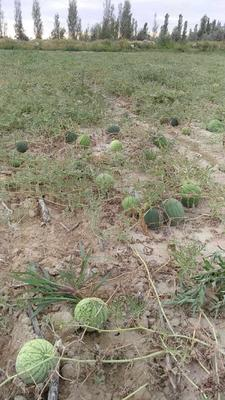 新疆维吾尔自治区阿勒泰地区哈巴河县打瓜子 散装