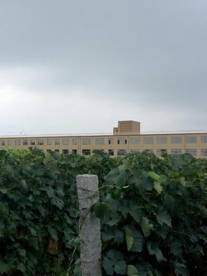 山东省烟台市龙口市夏黑葡萄 5%以下 1次果 1.5- 2斤