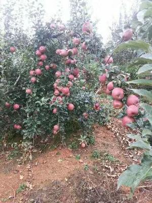 江苏省苏州市虎丘区红富士2001 光果 片红 70mm以上