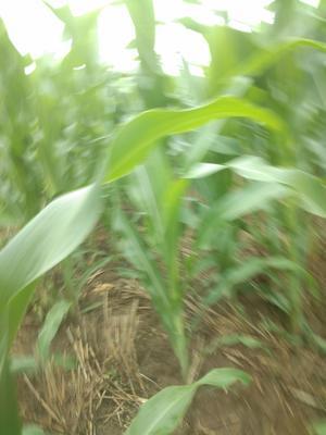 这是一张关于登海605玉米粒 霉变≤1% 杂质很少的产品图片