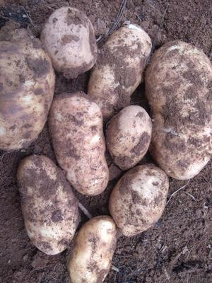 云南省丽江市玉龙纳西族自治县丽薯六号土豆种子 一级种薯