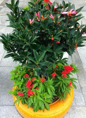茶花树 30~50cm