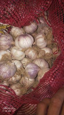 这是一张关于紫皮大蒜 混级统货 四六瓣的产品图片