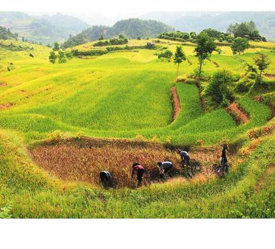 湖南省郴州市宜章县丰优22有机大米 绿色食品 中稻 一等品