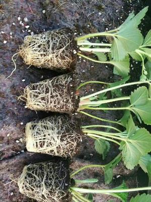 妙香草莓苗 地栽苗 10~20公分