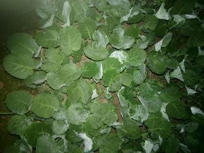 山东省临沂市沂水县白面青梗松花菜 适中 2~3斤 乳白色