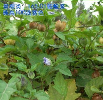 福建省漳州市南靖县茄子种子