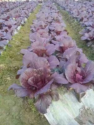 湖北省荆门市掇刀区紫白菜 2~3斤 净菜