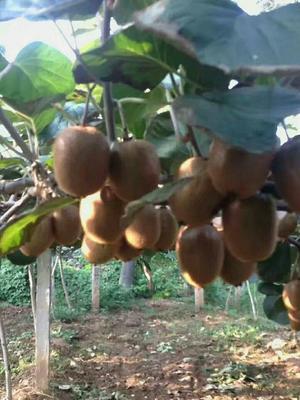 这是一张关于徐香猕猴桃 70克以上的产品图片
