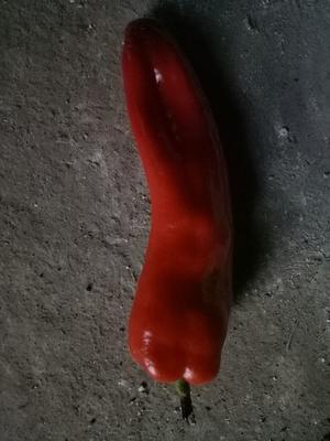 内蒙古自治区赤峰市翁牛特旗艳红辣椒 15~20cm 红色 中辣