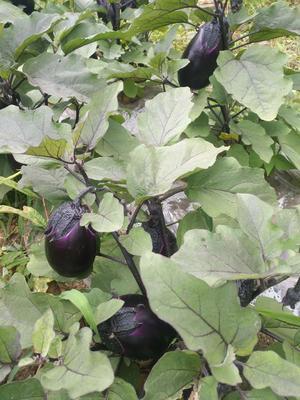 贵州省毕节市纳雍县紫光圆茄 4两以上