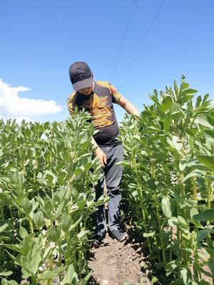 新疆维吾尔自治区伊犁哈萨克自治州昭苏县羊眼豆