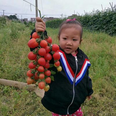 广西壮族自治区百色市田阳县粉果番茄 不打冷 硬粉 弧一以下