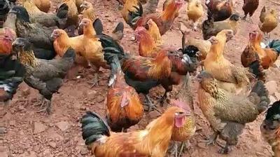 云南省楚雄彝族自治州南华县土鸡 统货 2-3斤
