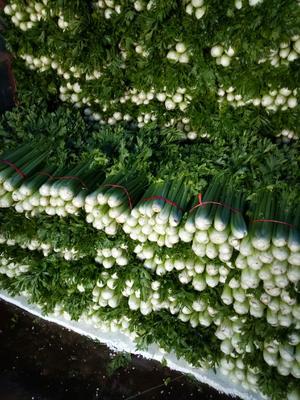甘肃省定西市安定区西芹 60cm以上 露天种植 3.0斤以上
