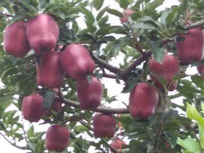 甘肃省天水市清水县花牛苹果 纸+膜袋 全红 75mm以上