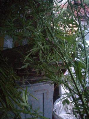 这是一张关于益母草的产品图片