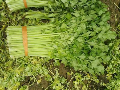 山东省滨州市博兴县西芹 55~60cm 露天种植 0.5斤以下