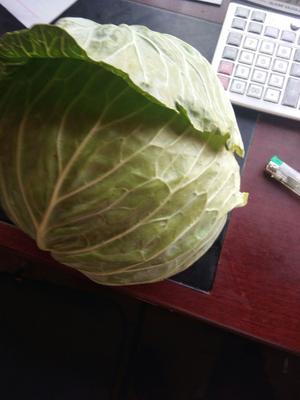 陕西省榆林市靖边县莲花白包菜 3.0~3.5斤