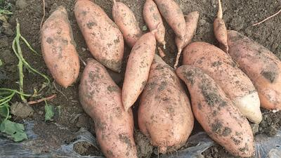 这是一张关于龙薯九号 红皮 3两~6两的产品图片