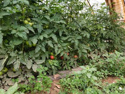 宁夏回族自治区吴忠市青铜峡市硬粉番茄 不打冷 硬粉 弧二以上