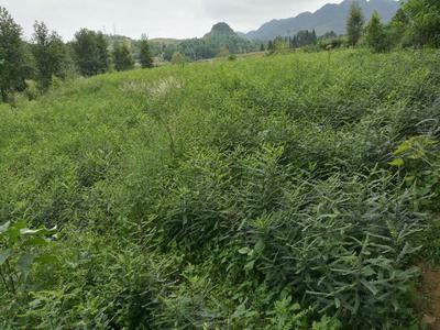 贵州省毕节市织金县皂角树
