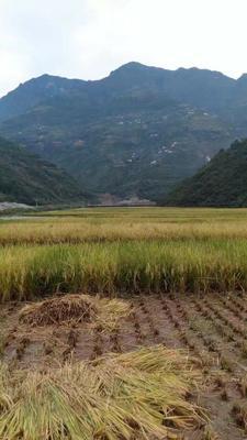 云南省昭通市巧家县有机红米
