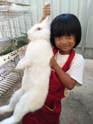 贵州省黔南布依族苗族自治州罗甸县比利时野兔 5斤以上
