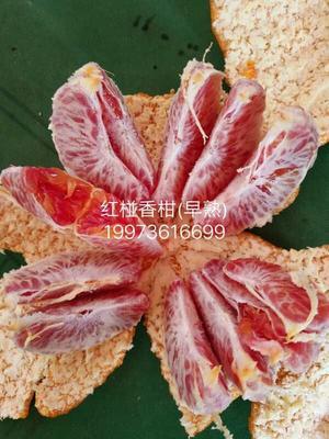 湖南省常德市安乡县柑橘种子