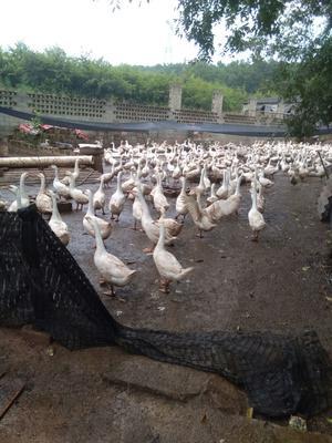 云南省红河哈尼族彝族自治州泸西县杂交鹅 统货 半圈养半散养 8-10斤