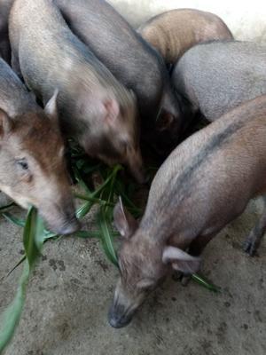 湖南省株洲市株洲县特种野猪 140斤以上 统货
