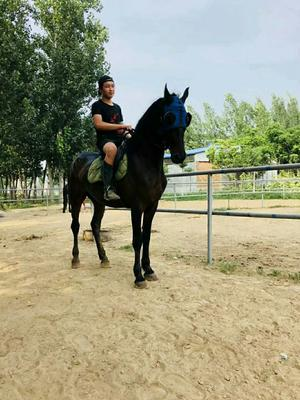山东省济宁市嘉祥县半血马 600-800斤
