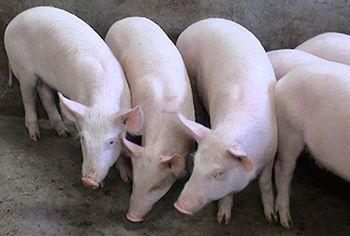 这是一张关于三元猪 20-25斤的产品图片