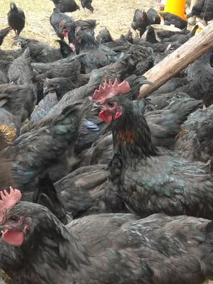 贵州省毕节市织金县黑羽乌鸡 3-4斤