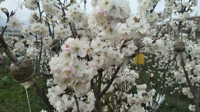 贵州省黔南布依族苗族自治州福泉市玛瑙红樱桃树苗