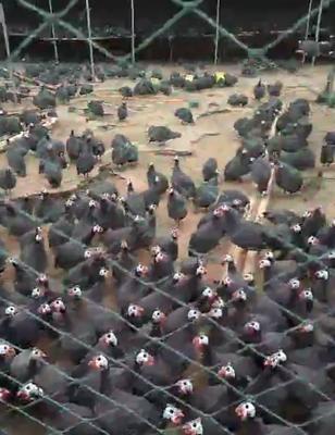 内蒙古自治区赤峰市宁城县灰色珍珠鸡 4-6斤