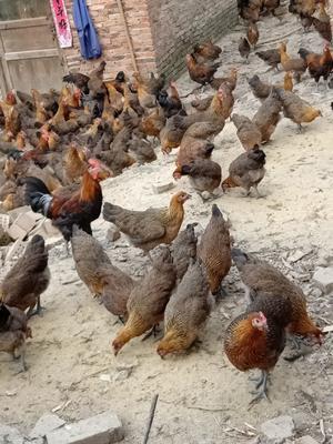 广西壮族自治区桂林市临桂县土鸡 母 3-4斤