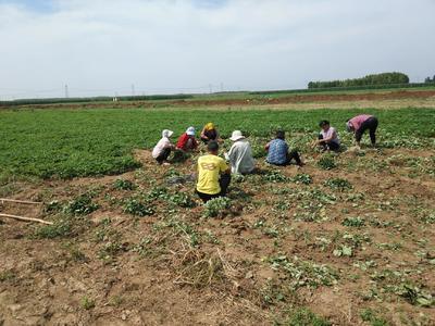 河北省保定市清苑县全明星草莓苗 地栽苗 20~30公分