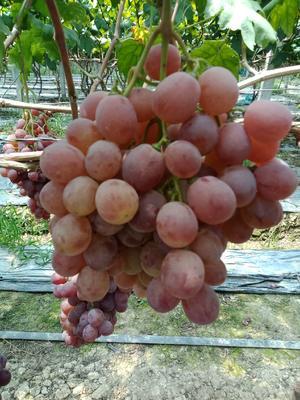 四川省眉山市东坡区红提 5%以下 2次果 2斤以上
