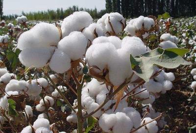 新疆维吾尔自治区乌鲁木齐市天山区新疆棉花