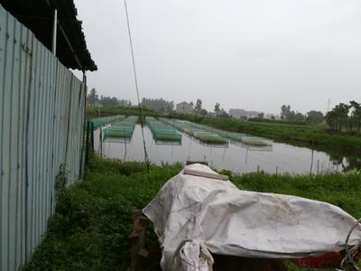 湖北省荆州市松滋市有机黄鳝 人工养殖
