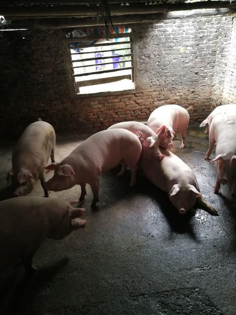 土杂猪 300斤以上