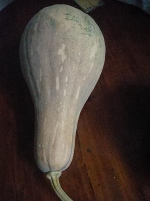 广西壮族自治区贺州市八步区金瓜 4~6斤 扁圆形