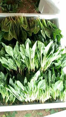 内蒙古自治区赤峰市元宝山区小叶菠菜 20~25cm