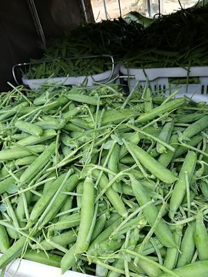 云南省红河哈尼族彝族自治州蒙自市长寿仁豌豆 10-12cm 饱满