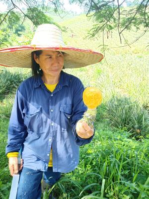 广东省广州市萝岗区泰国小菠萝 1 - 1.5斤