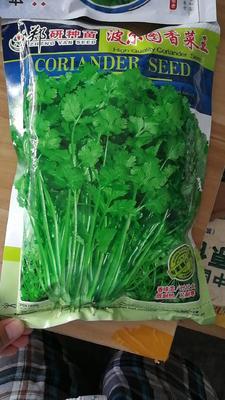 河南省商丘市梁园区香菜种子