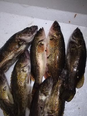 安徽省宣城市宣州区斑鳜 野生 0.8斤-1.4斤
